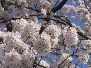 町田・恩田川の桜